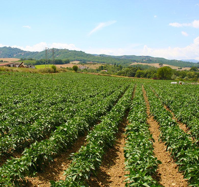 campo-peperoni-1-consorzio-tutela-peperone-senise-igp-produttori-agricoltori-aziende-agricole-basilicata