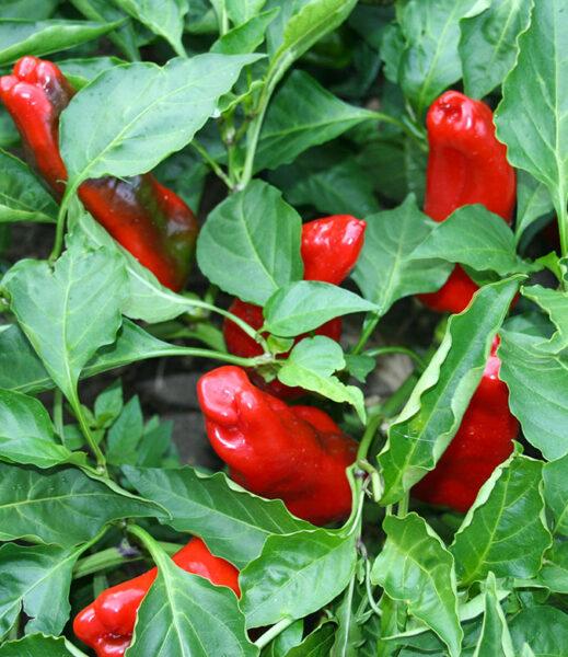 pianta-1-peperoni-consorzio-tutela-peperone-senise-igp-produttori-agricoltori-aziende-agricole-basilicata